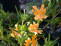 Monkeyflower-sm